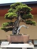 20150502_bonsai_03_360x480.JPG