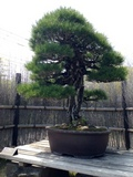 20150502_bonsai_04_360x480.JPG