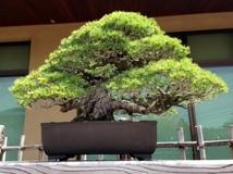 20150502_bonsai_05_480x360.JPG