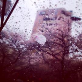 さくら雨.jpg