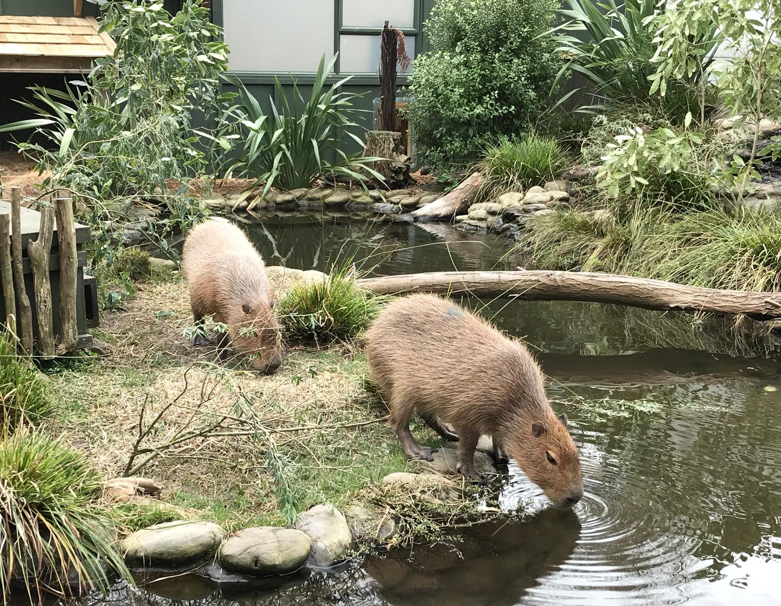 動物園カピパラ.png