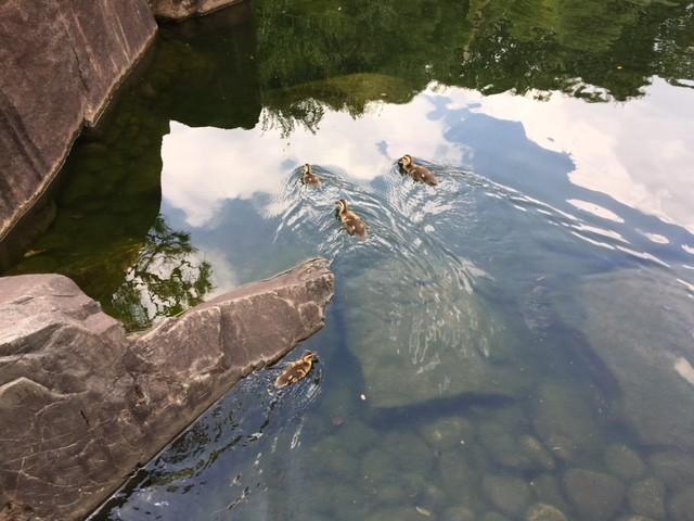 目白庭園(カモ).jpg