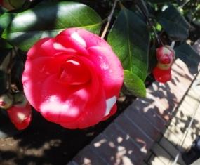 椿濃いピンク.JPG
