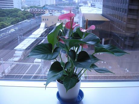 アンスリウムの鉢植えブログ用.JPG