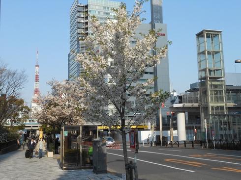 文化放送の前の桜は葉桜.JPG