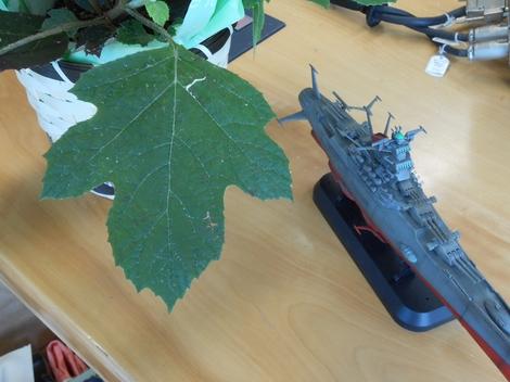 柏の葉に似ているカシワバ.JPG